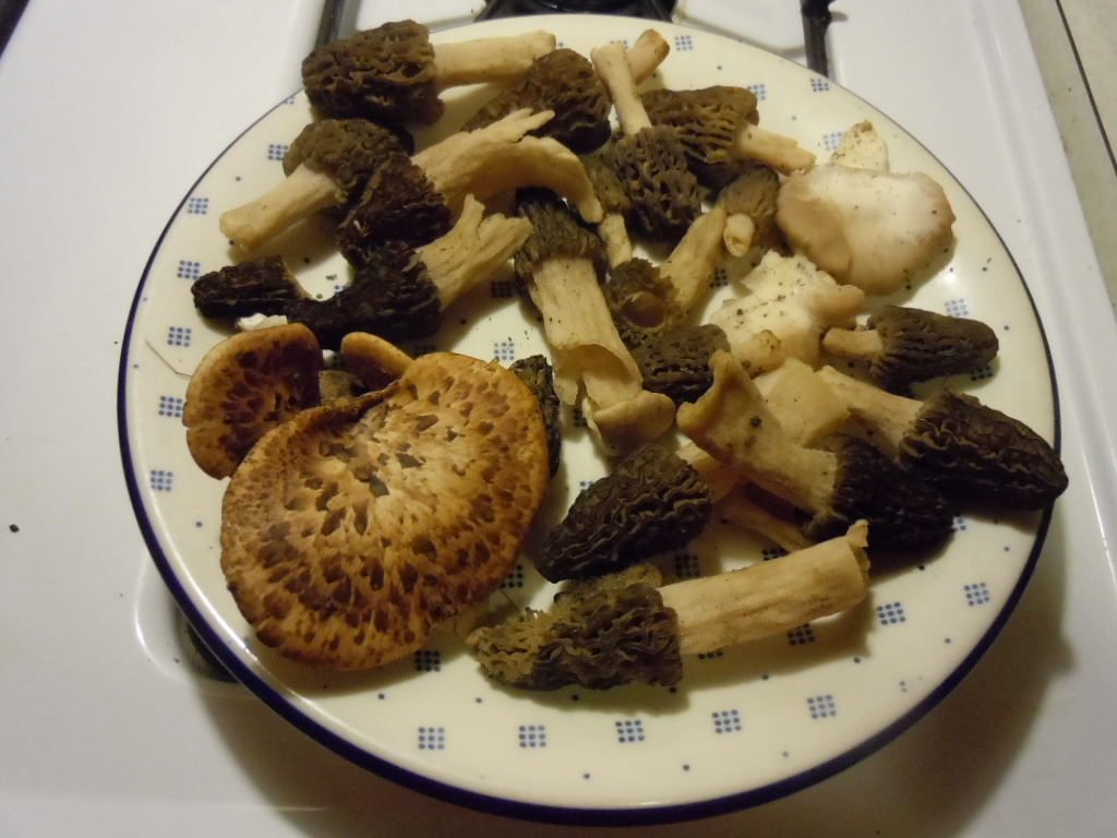 First morels of 2013 plus plants 039